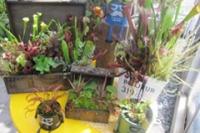 食虫植物の寄せ植え(イメージ)