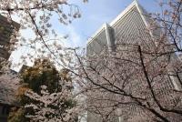 アークヒルズ桜