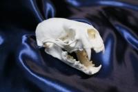 カナダカワウソ頭骨
