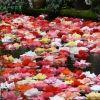 フラワー・カーペット(Tapis de fleurs):ベルギー