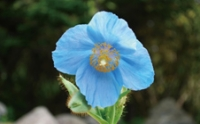ヒマラヤの秘境に咲く花々~青いケシと真紅のシャクナゲ~ イメージ