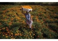 「マリーゴールド畑(インド)」※写真提供:AP