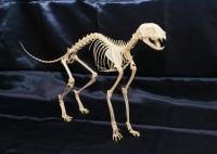 ネコ全身骨格