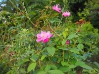 石垣島でも咲くコウシンバラ(石垣島「ガーデンパナ」にて)