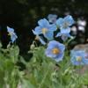 ヒマラヤの秘境に咲く花々~青いケシと真紅のシャクナゲ~